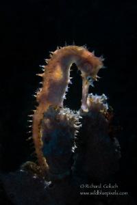 Thorny Seahorse-Lembeh. by Richard Goluch