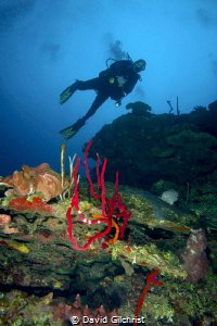 Diver on Hole in the Wall Dive,Roatan Honduras by David Gilchrist