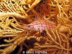 Longnose hawkfish camouflaged on gorgonian by Laura Dinraths