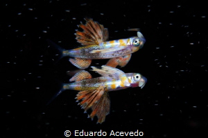 Juvenil flying fish open ocean by Eduardo Acevedo