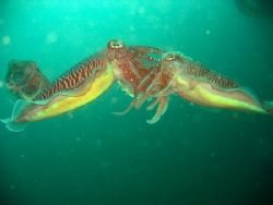 Yikes!! 2 cuttlefish sizing each other up in foreplay whi... by Reeza Mohd Rosli