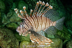 Lion Fish (Pterois volitans), Spooky Channel, Roatan Hond... by David Gilchrist