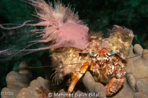 Helmet anemone crab during its coral spawning. Very rare ... by Mehmet Salih Bilal