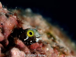 small blenny by Walter Bassi