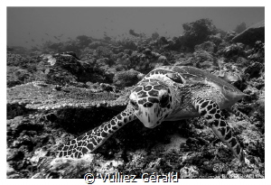 Just a curious turtle... by Vulliez Gérald