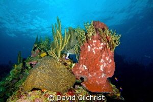 Roatan Reef Scenic by David Gilchrist