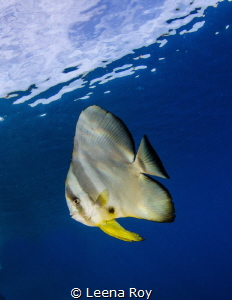 Batfish by Leena Roy