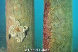Prickly eleven-armed sea star Coscinasterias calamaria on... by Daniel Poloha
