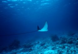Spotted Eagle Ray in Bonaire. The tail was about 2m/7ft l... by Erich Reboucas