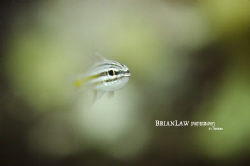 Glassfish at Tioman island taken with a Nikon D7000 Ikeli... by Brian Law