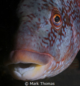 Ballan Wrasse, Farne Islands. by Mark Thomas