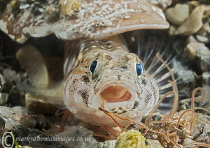 Painted Goby, Aughrus Pier. by Mark Thomas