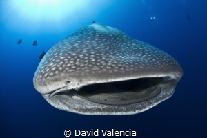 Whale Sharks frequent Mexico's Roca Partida almost year-r... by David Valencia