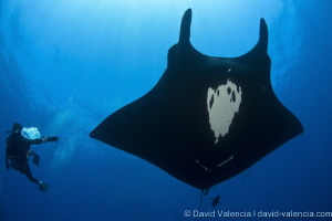 Giant Pacific Mantas are gentle and social by nature. Her... by David Valencia
