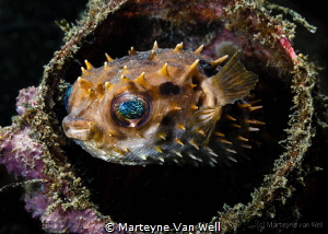 """Lembeh Style""; a Porcupine Pufferfish hiding in a discar... by Marteyne Van Well"