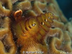 Spirobranchus by Walter Bassi