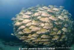 School of grunts in Cabo Pulmo by Jaime Leonardo Gonzalez Salazar