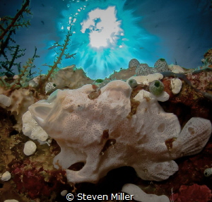 Tiny yawning frogfish right on the glass with 10mm lens. ... by Steven Miller