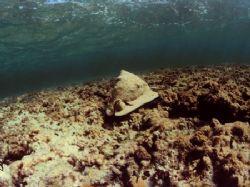 Helmet shell, San Salvador, Bahamas. Nikonos V, Sea&Sea 1... by Derek Zelmer