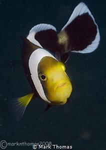 Panda anemone fish. KBR - Lembeh. by Mark Thomas