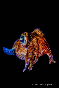 bobtail squid by Marco Gargiulo