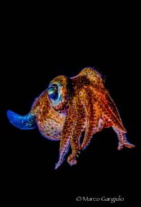 bobtail squid by Marco Gargiulo