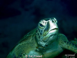 """""""Fish hook on the turtle neck"""". This is one of the turtle... by Raj Prasad"""
