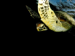 Green Turtle at surface. Canon S110 with Inon Wideangle a... by Jenny Strömvoll