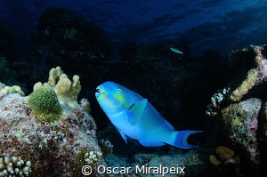 blue parrotfish by Oscar Miralpeix