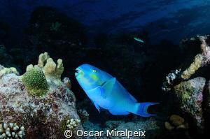 blue parrotfish by Oscar Miralpeix