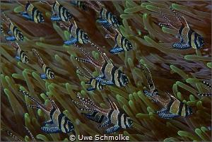 banggai cardinalfish by Uwe Schmolke