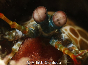 mantis shrimp whit eggs by Afflitti Gianluca