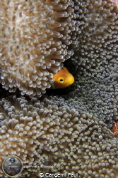 Shy Clown in Baa Atoll, Maldives by Cangemi Paul