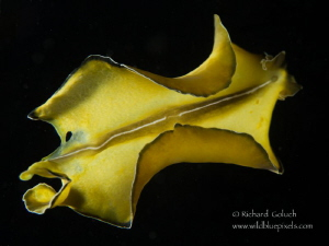 Flower's Flatworm-Lembeh by Richard Goluch
