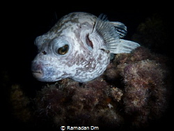 Puffer fish by Ramadan Dm