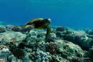 Young Green Turtle by Pat Gunderson
