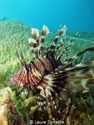 A common lionfish caught in a fishing line (and rescued) by Laura Dinraths