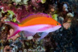 Bi-Color Anthis by Stuart Ganz
