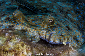 Peacock Flounder by Robert Michaelson