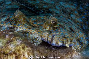 Peacock Flounder by Robert Michaelson