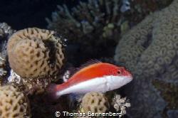 """Blackside hawkfish NIKON D7000 in a Seacam """"Prelude"""" uw ... by Thomas Bannenberg"""