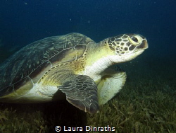 Green turtle (Chelonia mydas) on a seagrass bed by Laura Dinraths
