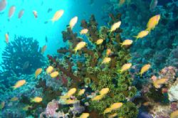 anthias in a strong current, South Male atoll by Alessandro Reato