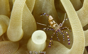 Coleman Shrimp in Giant Anemone by Tig Fong