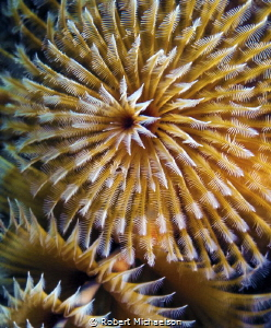 Christmas tree worm-85 macro,dual stobes by Robert Michaelson
