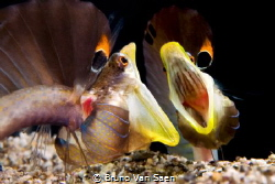The fighting pikeblenny of the Caribean sea by Bruno Van Saen