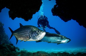 Framed Tarpon, hold your breath in here by Steven Miller