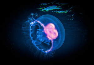 Jellyfish- not very common in Wakatobi, about 3 inches lo... by Steven Miller