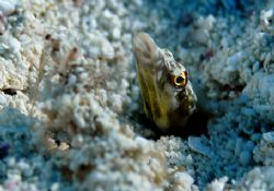 Pike Blenny, Turks & Caicos by Andy Lerner