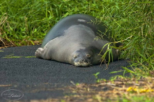 Maui Hawaiian monk seal, D90, 400 lens, taking a nap! by Ledean Paden